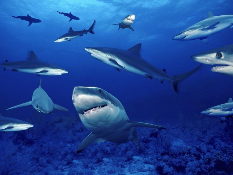 Ocean Sharks Swimming Wallpaper