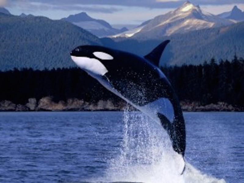 Orca Soaring Higher Wallpaper