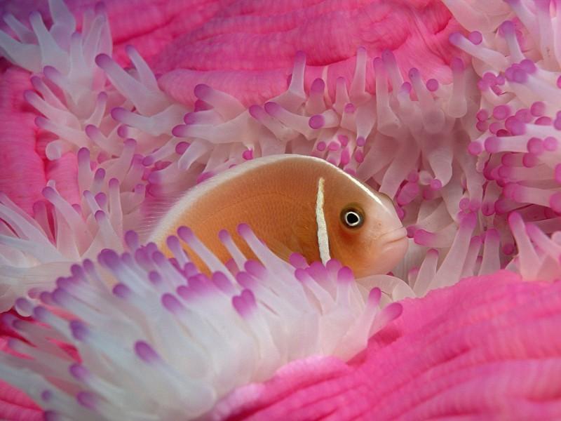Pink Anemonefish Wallpaper