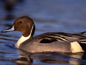 Pintail Drake Duck Wallpaper
