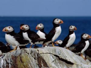 Puffin Colony, Farne Islands, England