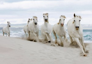 Rare White Horses Running Wallpaper
