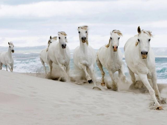 Rare White Horses Running Wallpaper