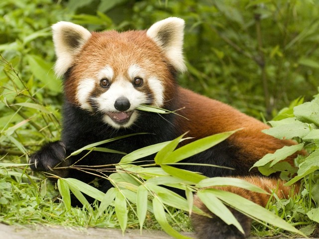 Red Panda Eating Bamboo, Wolong Nature Reserve, Sichuan Province, China
