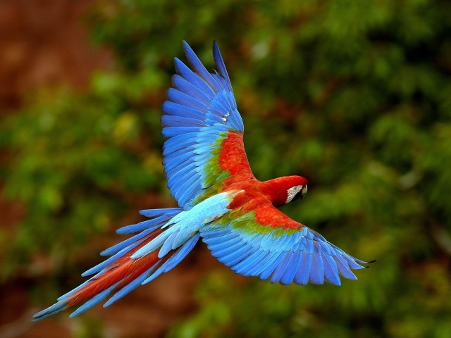 Red And Green Macaw In Flight, Brazil