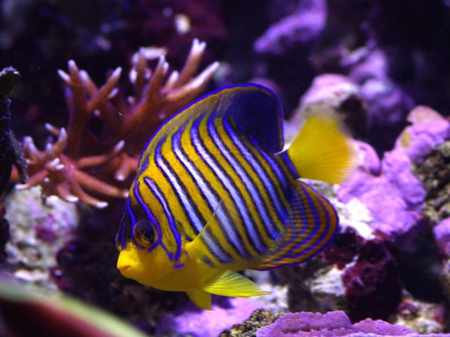 Regal Angelfish Wallpaper
