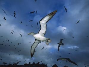 Salvin's Albatross, Proclamation Island, New Zealand