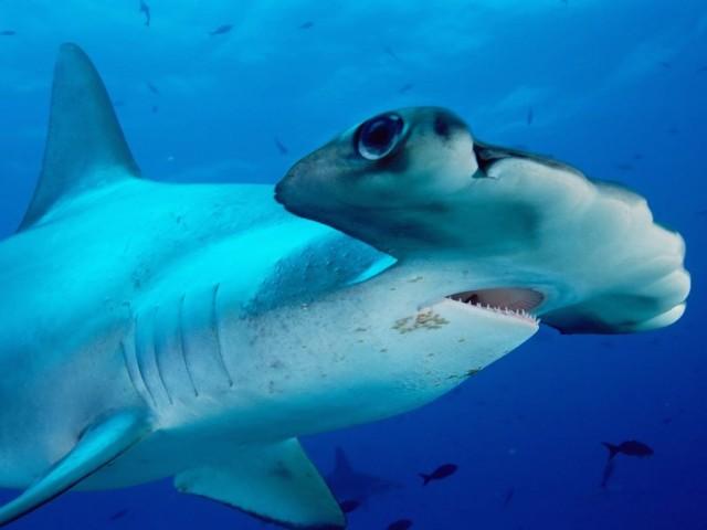 Scalloped Hammerhead Shark Wallpaper