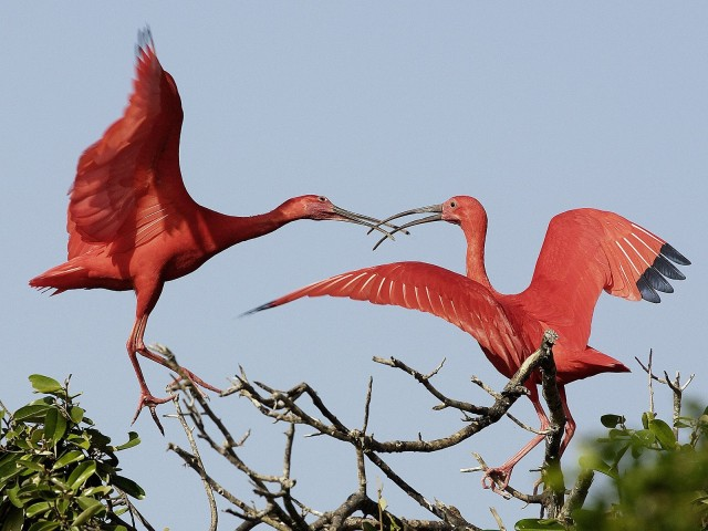 Scarlet Ibises, Venezuela
