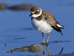 Semipalmated Plover, Sanibel Island, Florida