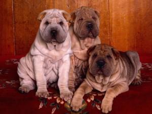 Shar Pei Puppies Wallpaper