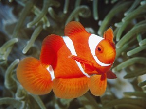 Spine Cheeked Clownfish Papua New Guinea Wallpaper