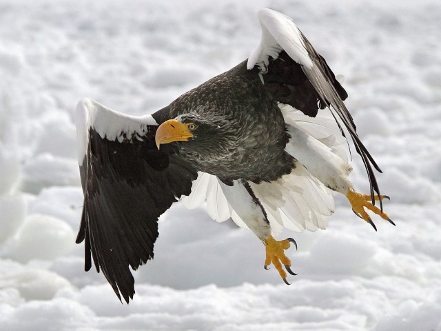 Steller's Sea Eagle Wallpaper