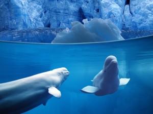 Belugas Underwater