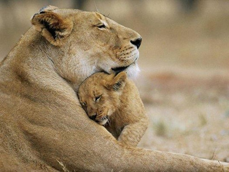 Lions Cuddle Wallpaper