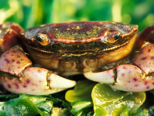 Fiddler Crab Wallpaper