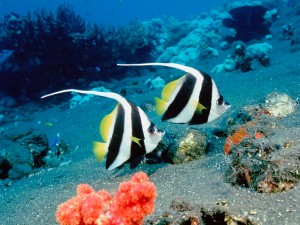 Long Fin Bannerfish, Indonesia