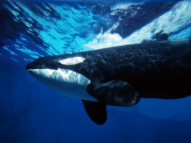 Orca Whale Underwater