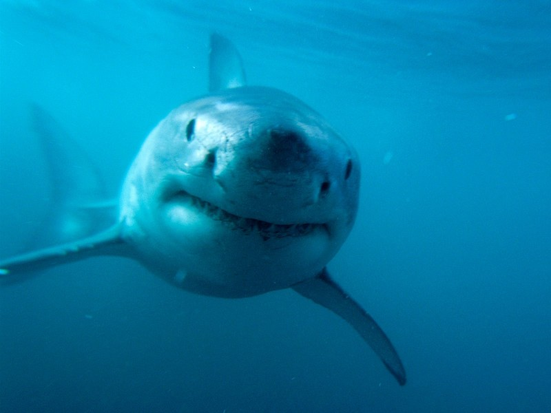great white shark wallpaper free aquatic wallpapers