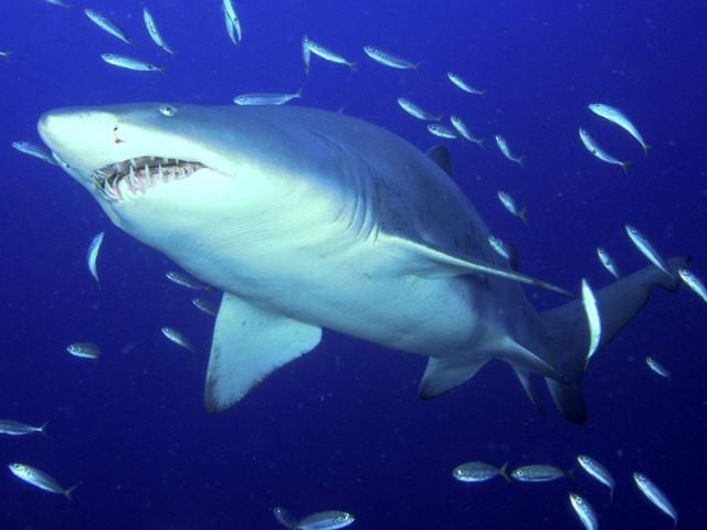 Predator, Sand Tiger Shark