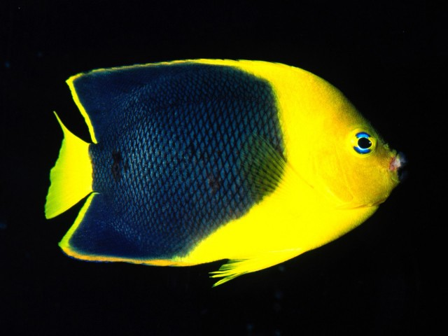 Rock Beauty Angelfish, Indo Pacific