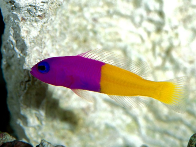 Royal Dottyback, Pacific