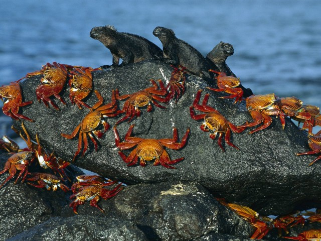 Sally Lightfoot Crabs And Marine Iguanas