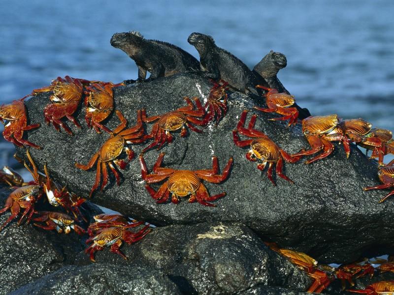 Sally Lightfoot Crabs And Marine Iguanas