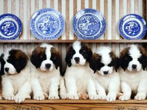 St Bernard Puppies Wallpaper
