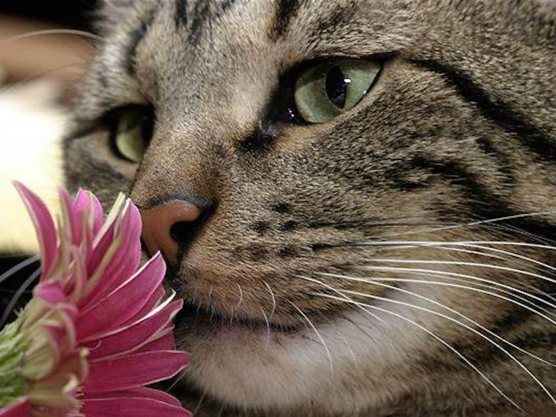 Sweet Cat Wallpaper