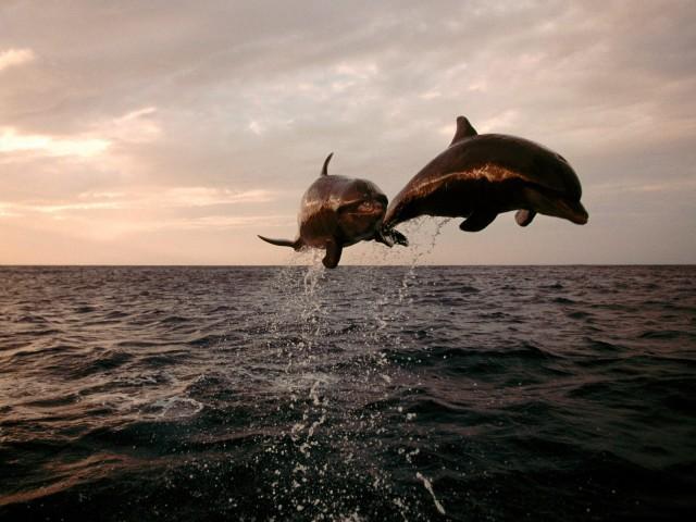 Taking Flight, Bottlenose Dolphins