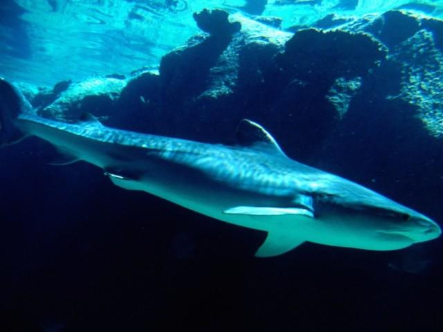 Tiger Shark Bahamas Wallpaper