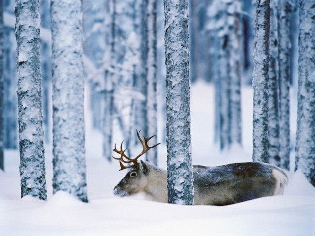 Snow Moose Wallpaper