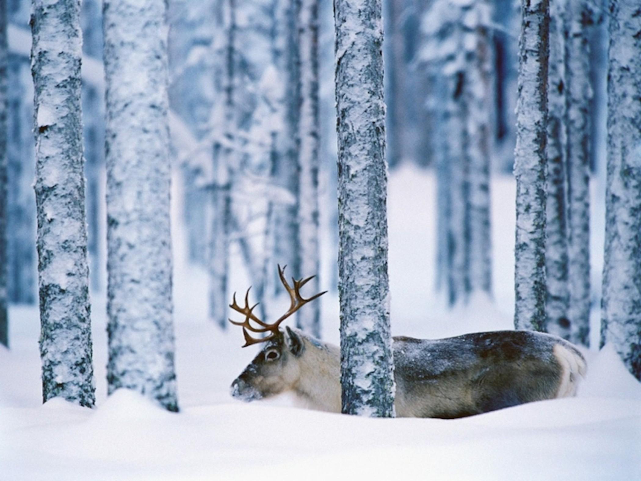 Snow Moose Wallpaper Free Wallpaper Downloads