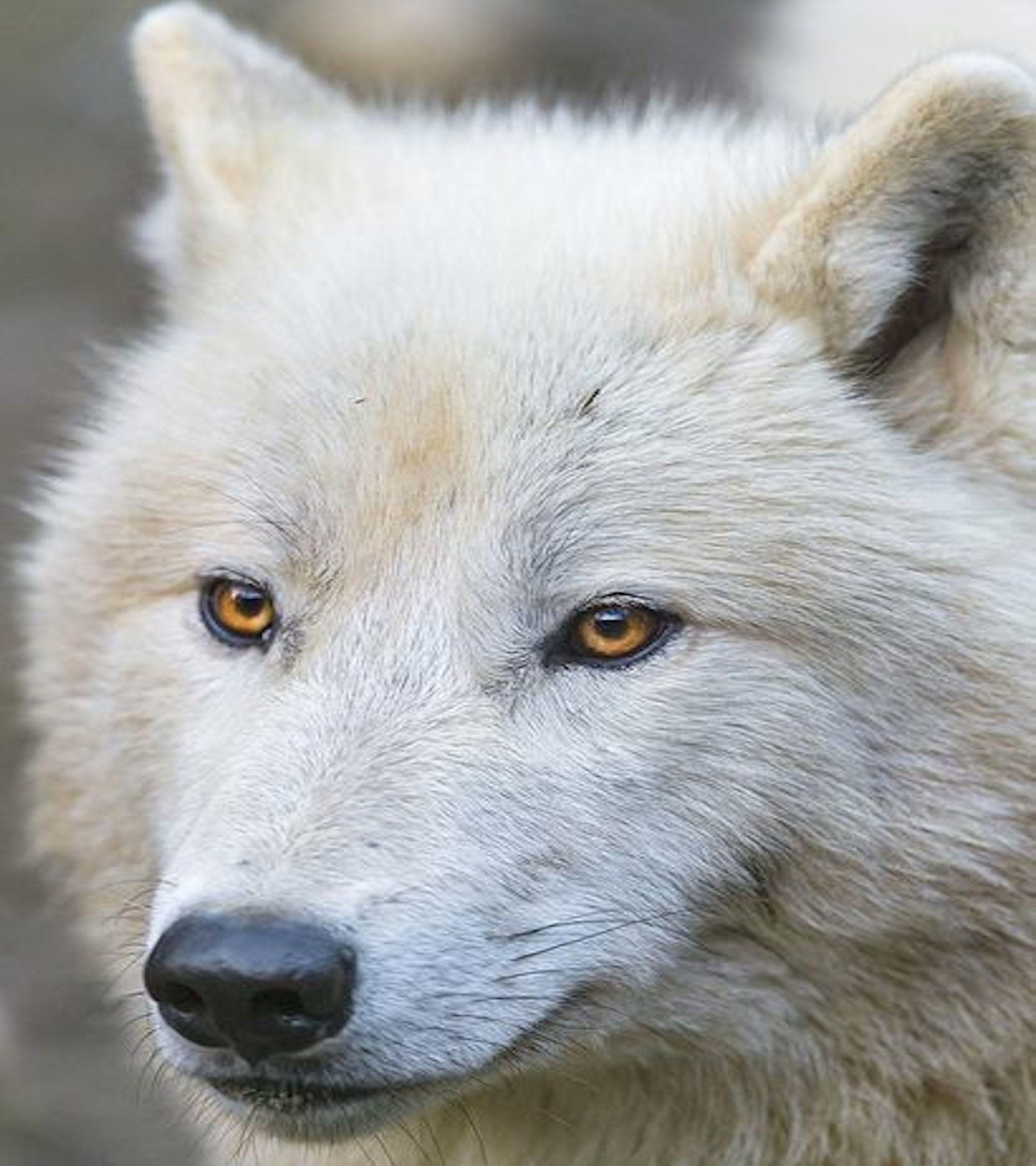 White Wolf Wallpaper-Free Desktop Wallpaper