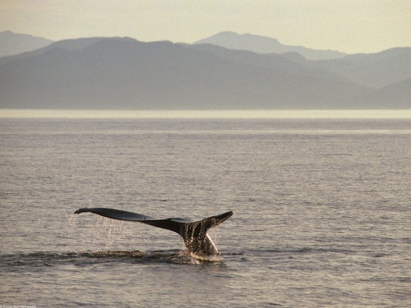 Humpback Whale Tail Wallpaper