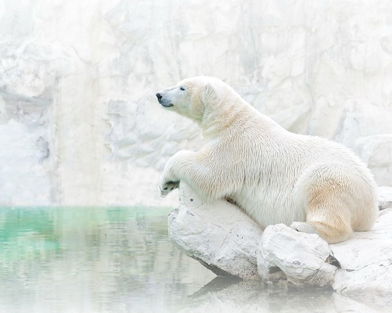 polar bear wallpaper free hd animal downloads. Black Bedroom Furniture Sets. Home Design Ideas