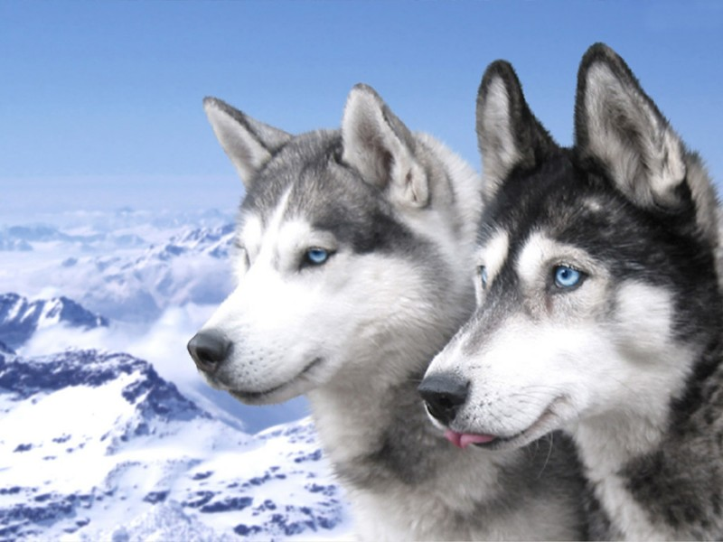 Siberian Husky Puppies Wallpaper