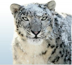 Snow Leopard HD Wallpaper