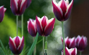 Spring Tulips Bokeh Wallpaper