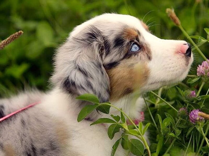 Australian Shepard Dog Wallpaper