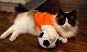 Cat Soccer Fan Wallpaper