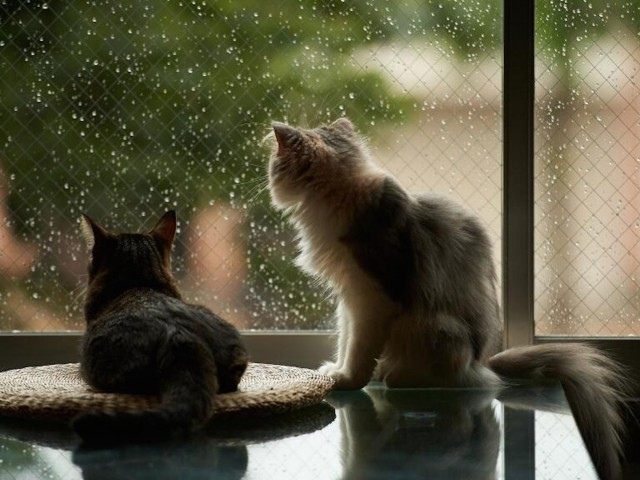 Cats Watching Raindrops Wallpaper