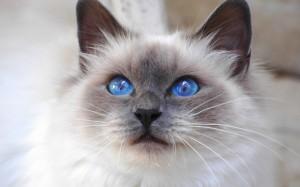 Birman Blue Eyed Cat Wallpaper