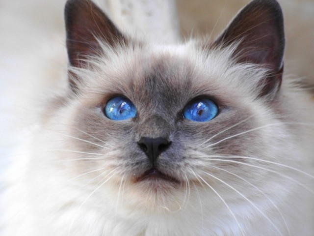 Birman Blue Eyed Cat Wallpaper