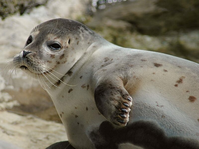 Arctic Seehund German Seal Wallpaper