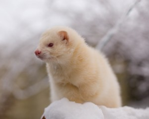 Albino Ferret Snow Wallpaper