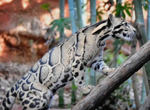Clouded Leopard Big Cat Wallpaper