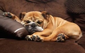 English Bulldog Sleeping Wallpaper