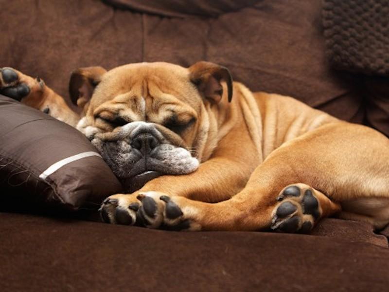 English Bulldog Sleeping Wallpaper